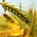 Buğday Raporu